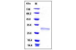 Image no. 1 for Ribulose-5-Phosphate-3-Epimerase (RPE) (AA 2-228) protein (His tag) (ABIN2004932)