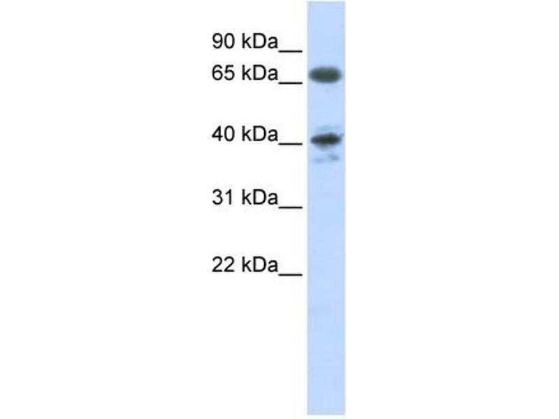 Western Blotting (WB) image for anti-Angiotensin II Receptor, Type 1 (AGTR1) (N-Term) antibody (ABIN2775286)