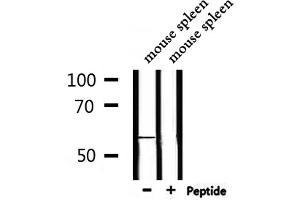 Image no. 2 for anti-G Protein-Coupled Receptor 176 (GPR176) antibody (ABIN6258799)