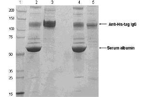 Western Blotting (WB) image for High-Affinity Iodoacetyl Resin (ABIN1536560)