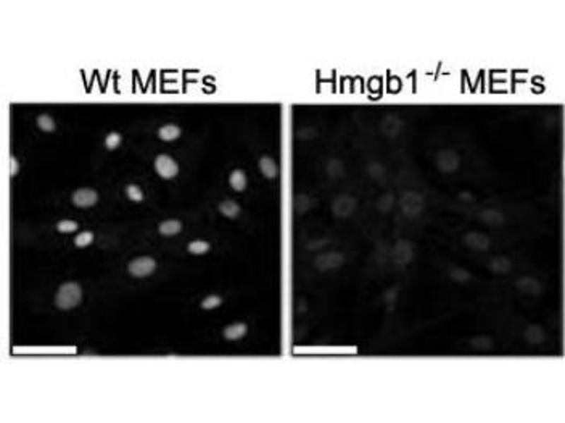 image for anti-HMGB1 antibody (High-Mobility Group Box 1) (ABIN1176834)