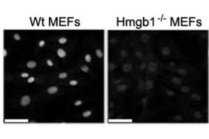 Image no. 4 for anti-High Mobility Group Box 1 (HMGB1) antibody (ABIN1176834)