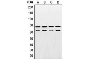 Western Blotting (WB) image for anti-Lamin A/C antibody (LMNA) (Center) (ABIN2706457)