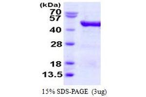 Image no. 1 for Eukaryotic Translation Initiation Factor 4A3 (EIF4A3) (AA 1-411) protein (His tag) (ABIN667633)