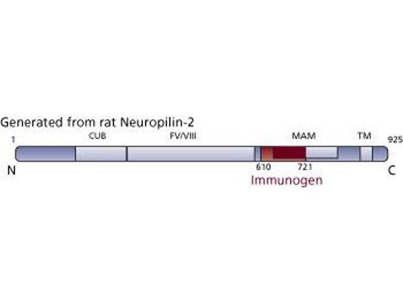 image for anti-NRP2 antibody (Neuropilin 2) (AA 610-721) (ABIN968443)