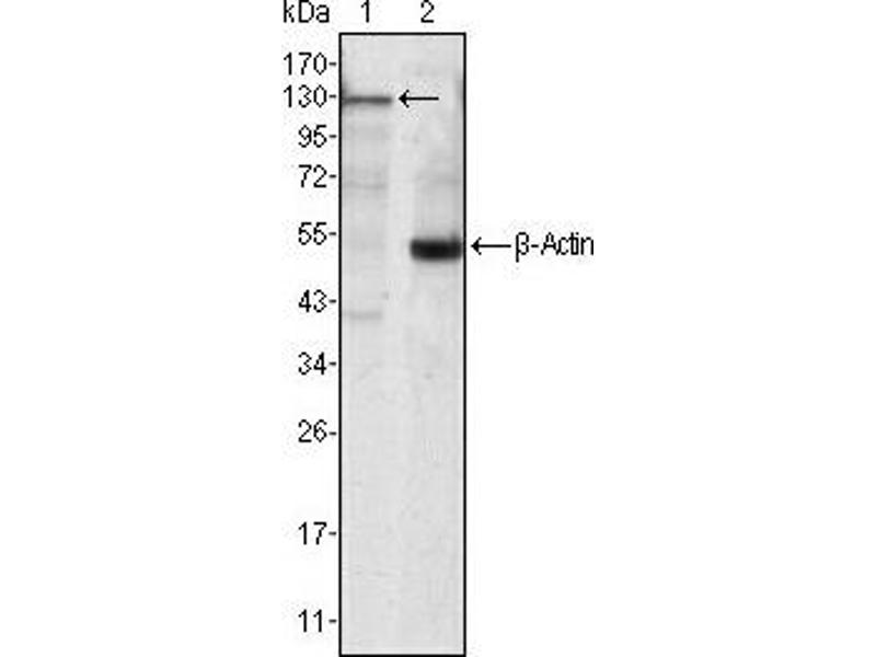 Western Blotting (WB) image for anti-Tyrosine-Protein Kinase JAK3 (JAK3) antibody (ABIN1109428)