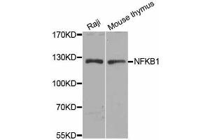 Image no. 1 for anti-Nuclear Factor of kappa Light Polypeptide Gene Enhancer in B-Cells 1 (NFKB1) antibody (ABIN6144571)
