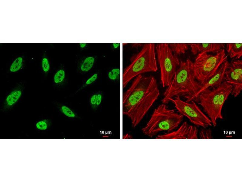 Immunofluorescence (IF) image for anti-SNF Related Kinase (SNRK) (Internal Region) antibody (ABIN2856805)