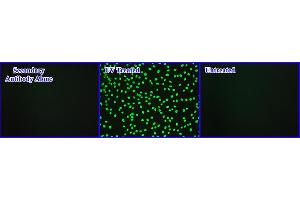 Immunofluorescence (IF) image for OxiSelect™ Cellular UV-Induced DNA Damage Staining Kit (CPD) (ABIN2344980)