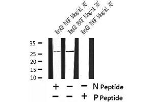Image no. 1 for anti-AKT1 Substrate 1 (Proline-Rich) (AKT1S1) (pSer202) antibody (ABIN6270268)
