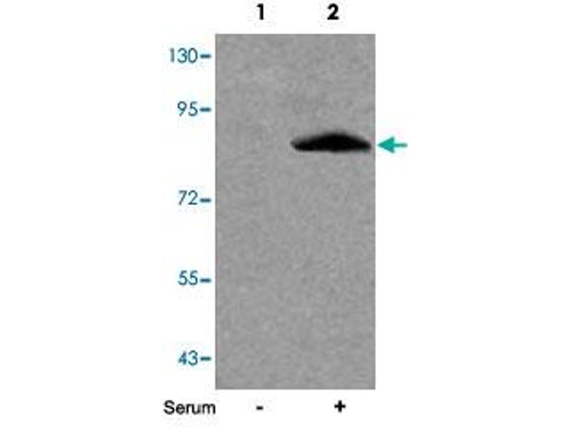 Image no. 1 for anti-Forkhead Box O1 (FOXO1) antibody (ABIN539166)