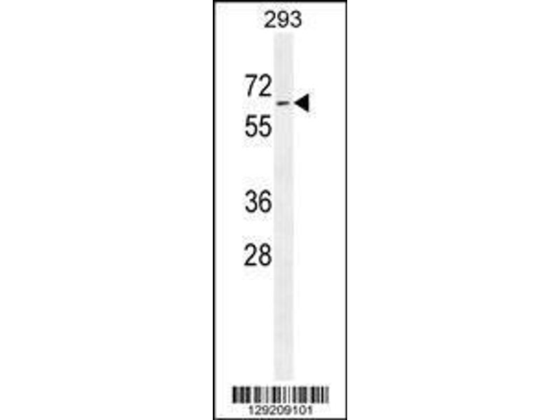 Western Blotting (WB) image for anti-Phospholipase D Family, Member 5 (PLD5) (AA 508-536), (C-Term) antibody (ABIN655545)
