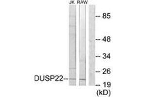 Image no. 1 for anti-Dual Specificity Phosphatase 22 (DUSP22) (AA 121-170) antibody (ABIN1534145)