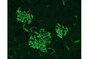 Immunofluorescence (IF) image for anti-C3 antibody (Complement Component 3) (ABIN152429)