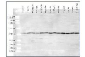 Western Blotting (WB) image for anti-MAPK14 antibody (Mitogen-Activated Protein Kinase 14) (AA 341-360) (ABIN410115)