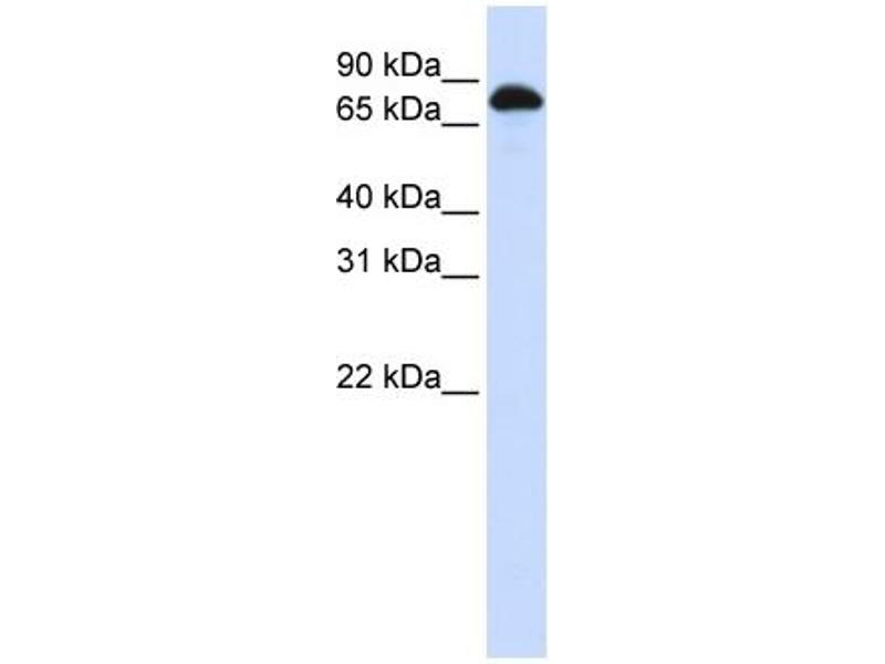 Western Blotting (WB) image for anti-Signal Transducer and Activator of Transcription 3 (Acute-Phase Response Factor) (STAT3) (N-Term) antibody (ABIN2780479)