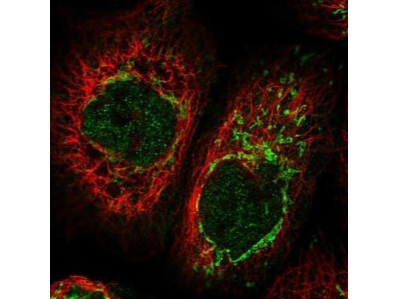 Immunofluorescence (IF) image for anti-Cytokine Induced Apoptosis Inhibitor 1 (CIAPIN1) antibody (ABIN4298735)