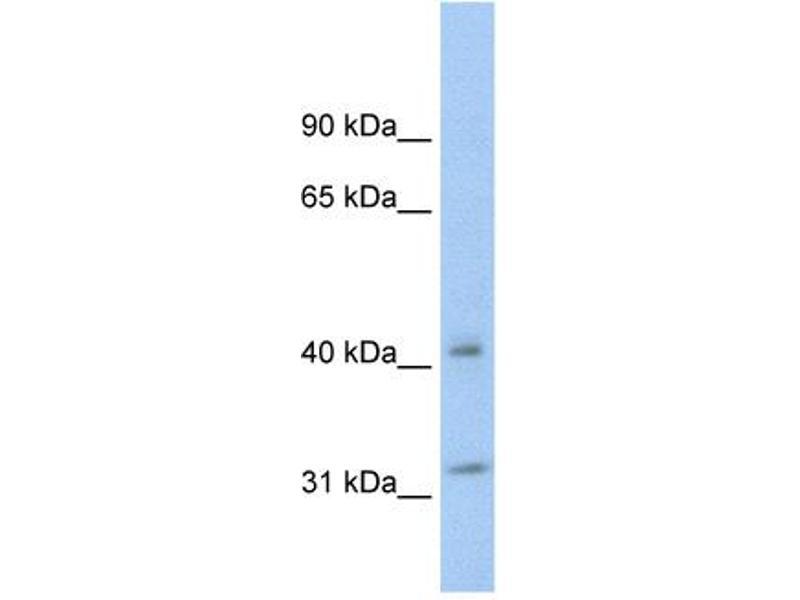 Western Blotting (WB) image for anti-tyrosine 3-Monooxygenase/tryptophan 5-Monooxygenase Activation Protein, theta Polypeptide (YWHAQ) (N-Term) antibody (ABIN2792144)