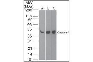 Image no. 2 for anti-Caspase 7, Apoptosis-Related Cysteine Peptidase (CASP7) (active) antibody (ABIN400716)