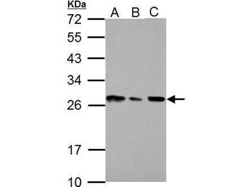 Western Blotting (WB) image for anti-HMGB1 antibody (High-Mobility Group Box 1) (Center) (ABIN2854997)
