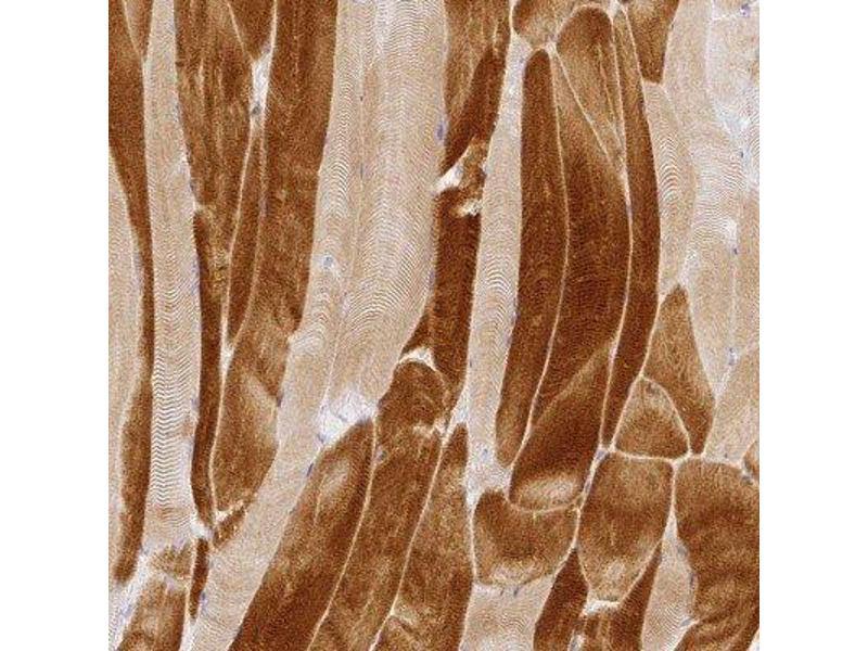 Immunohistochemistry (Paraffin-embedded Sections) (IHC (p)) image for anti-Retina and Anterior Neural Fold Homeobox 2 (RAX2) antibody (ABIN4349468)