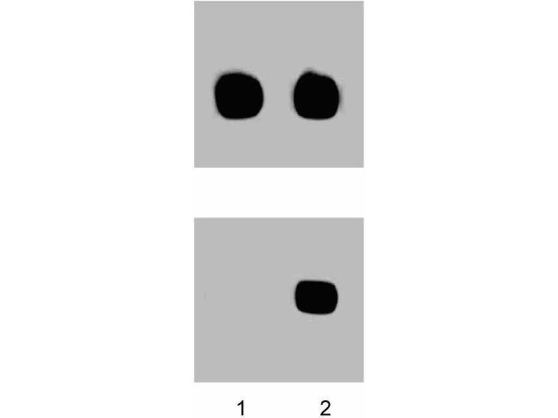 Western Blotting (WB) image for anti-MAP kinase p38 (p38) (pThr180) antibody (ABIN968800)