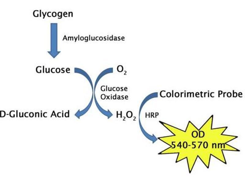 Image no. 1 for Glycogen Assay Kit (Colorimetric) (ABIN5067565)