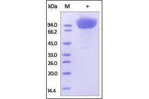Image no. 1 for Platelet/endothelial Cell Adhesion Molecule (PECAM1) (AA 28-601) protein (His tag) (ABIN2181643)