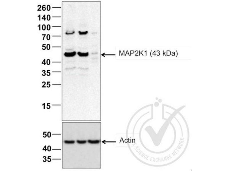 Western Blotting (WB) image for anti-MAP2K1 antibody (Mitogen-Activated Protein Kinase Kinase 1) (AA 2-35) (ABIN686482)