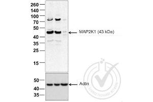 Image no. 3 for anti-Mitogen-Activated Protein Kinase Kinase 1 (MAP2K1) (AA 2-35) antibody (ABIN686482)