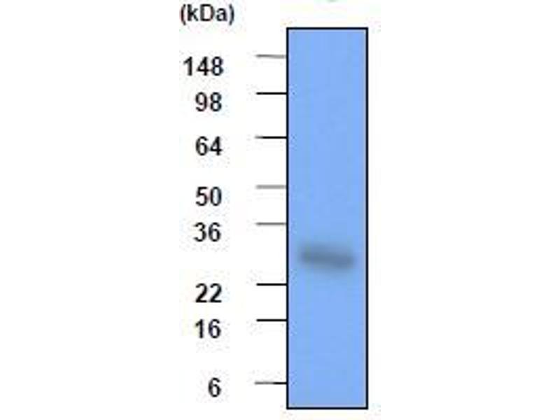 Western Blotting (WB) image for anti-Heat Shock 27kDa Protein 1 (HSPB1) (AA 1-205), (N-Term) antibody (ABIN317528)