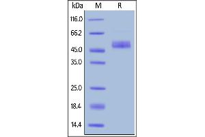Image no. 2 for Inducible T-Cell Co-Stimulator (ICOS) (AA 21-141) (Active) protein (Fc Tag) (ABIN6809913)