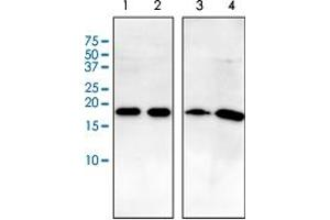 Image no. 2 for anti-ADP-Ribosylation Factor 1 (ARF1) antibody (ABIN5572940)