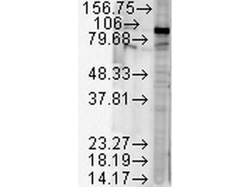 Western Blotting (WB) image for anti-Heat Shock Protein 90kDa alpha (Cytosolic), Class B Member 1 (HSP90AB1) antibody (Streptavidin) (ABIN2486713)