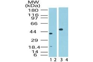 Image no. 1 for anti-Mitogen-Activated Protein Kinase Associated Protein 1 (MAPKAP1) (AA 85-102) antibody (ABIN207659)