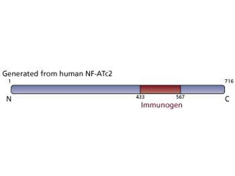 image for anti-NFAT1 antibody (Nuclear Factor of Activated T-Cells, Cytoplasmic, Calcineurin-Dependent 2) (AA 433-567) (ABIN967558)