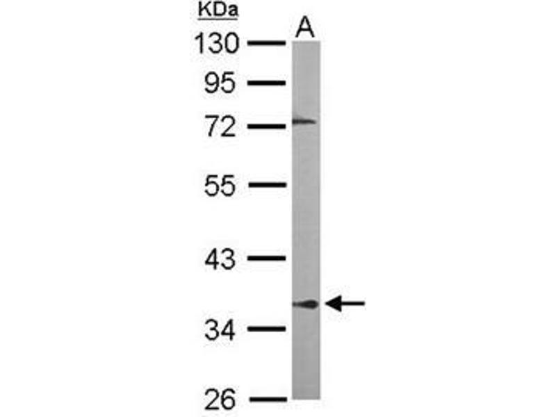 Western Blotting (WB) image for anti-PPP2R4 antibody (Protein Phosphatase 2A Activator, Regulatory Subunit 4) (AA 60-276) (ABIN497956)