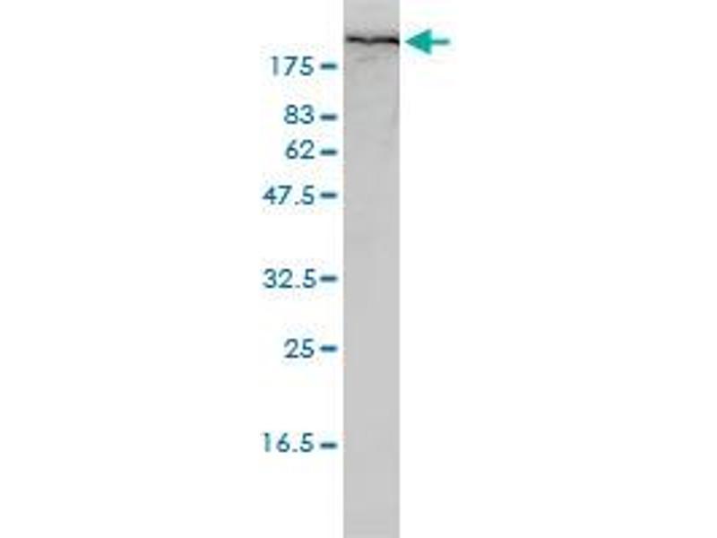 Western Blotting (WB) image for anti-Filamin A, alpha (FLNA) (AA 1-838), (full length) antibody (ABIN560922)