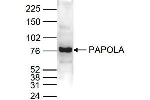 Image no. 1 for anti-Poly(A) Polymerase alpha (PAPOLA) (C-Term) antibody (ABIN6655568)