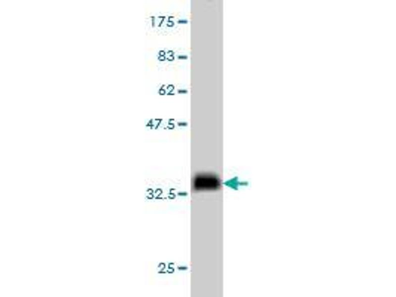 Western Blotting (WB) image for anti-Nodal Homolog (Mouse) (NODAL) (AA 275-347) antibody (ABIN396555)