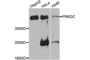 Image no. 2 for anti-Protein Kinase, DNA-Activated, Catalytic Polypeptide (PRKDC) antibody (ABIN6146218)