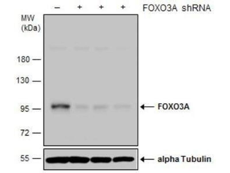 Western Blotting (WB) image for anti-Forkhead Box O3 (FOXO3) (C-Term) antibody (ABIN4312377)