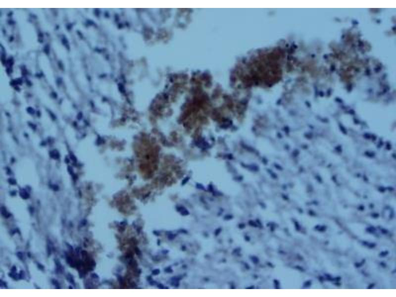 Immunohistochemistry (Paraffin-embedded Sections) (IHC (p)) image for anti-CD4 antibody (CD4 Molecule) (C-Term) (ABIN439030)