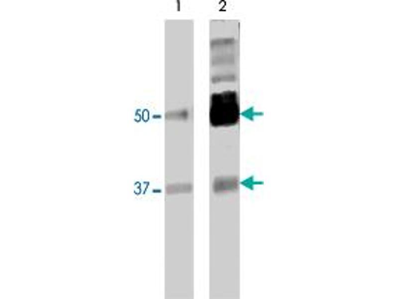 Western Blotting (WB) image for anti-Polypyrimidine Tract Binding Protein 2 (PTBP2) (AA 1-532) antibody (ABIN566178)