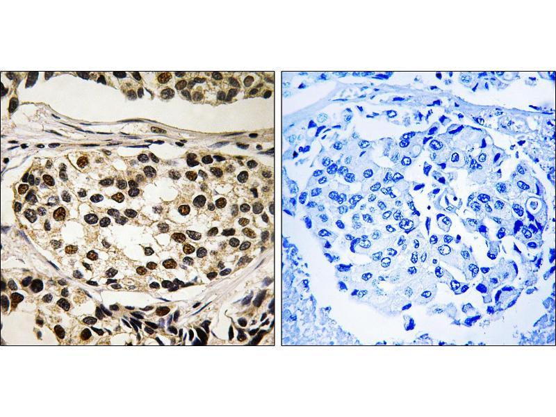 Image no. 1 for anti-Cyclin C (CCNC) (pSer275) antibody (ABIN1575924)