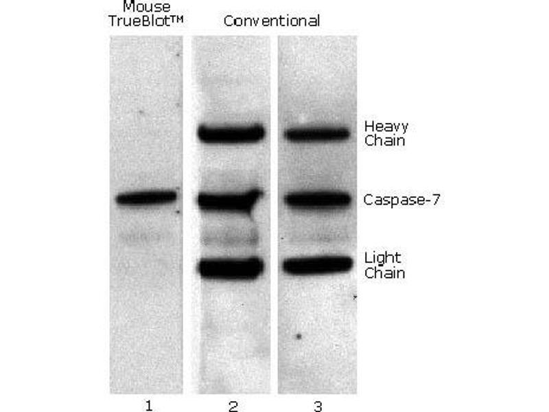 Image no. 4 for Fluorescent TrueBlot®: Anti-Mouse Ig DyLight™ 680 (ABIN6698836)