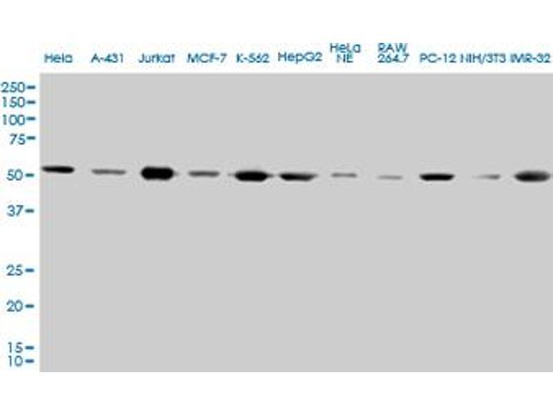 Western Blotting (WB) image for anti-Tubulin, alpha 4a (TUBA4A) (AA 1-448) antibody (ABIN563289)