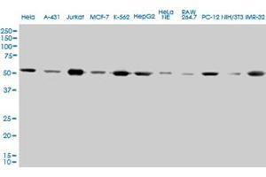 Western Blotting (WB) image for anti-Tubulin, alpha 4a (TUBA4A) (AA 1-448), (full length) antibody (ABIN563289)