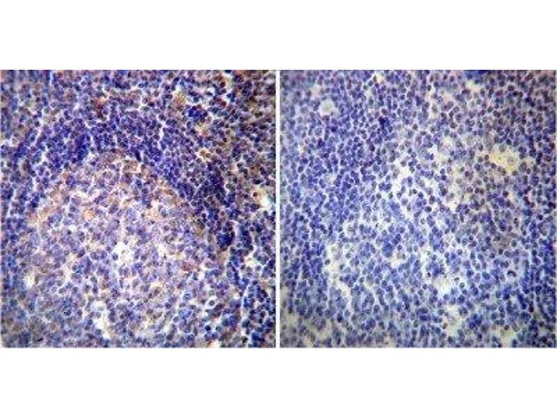 Immunohistochemistry (Paraffin-embedded Sections) (IHC (p)) image for anti-VAMP4 antibody (Vesicle-Associated Membrane Protein 4) (ABIN152692)
