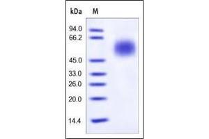 Image no. 1 for Complement Decay-Accelerating Factor (CD55) (AA 35-353) protein (His tag) (ABIN2180811)